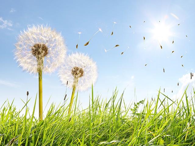 Pollenflug im Mai belastet Allergiker